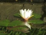 My surprise water lily